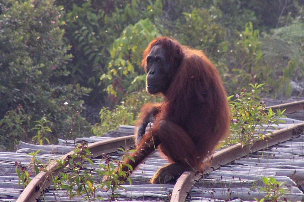 Orangutan sits on an old wooden train track