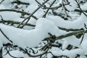 Snow settled on some branch leaves.