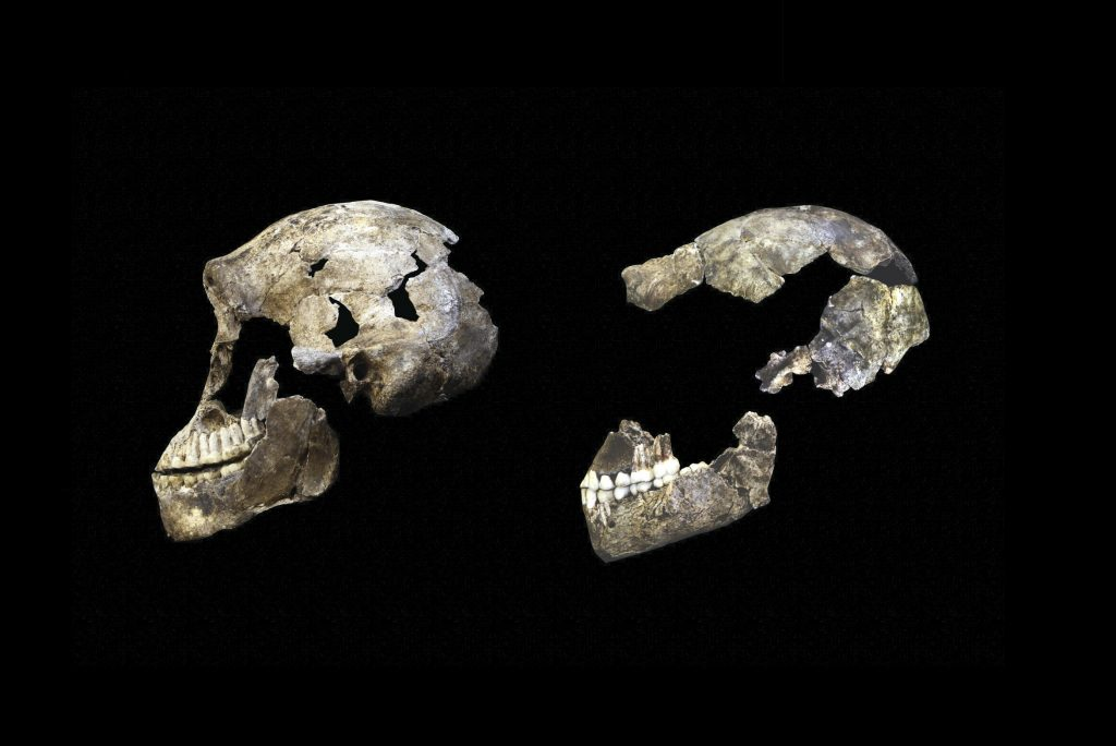 ''Neo'' skull from Lesedi Chamber (left) with DH1 Homo naledi skull from Dinaledi Chamber (right). Photo credit: Wits University/ John Hawks