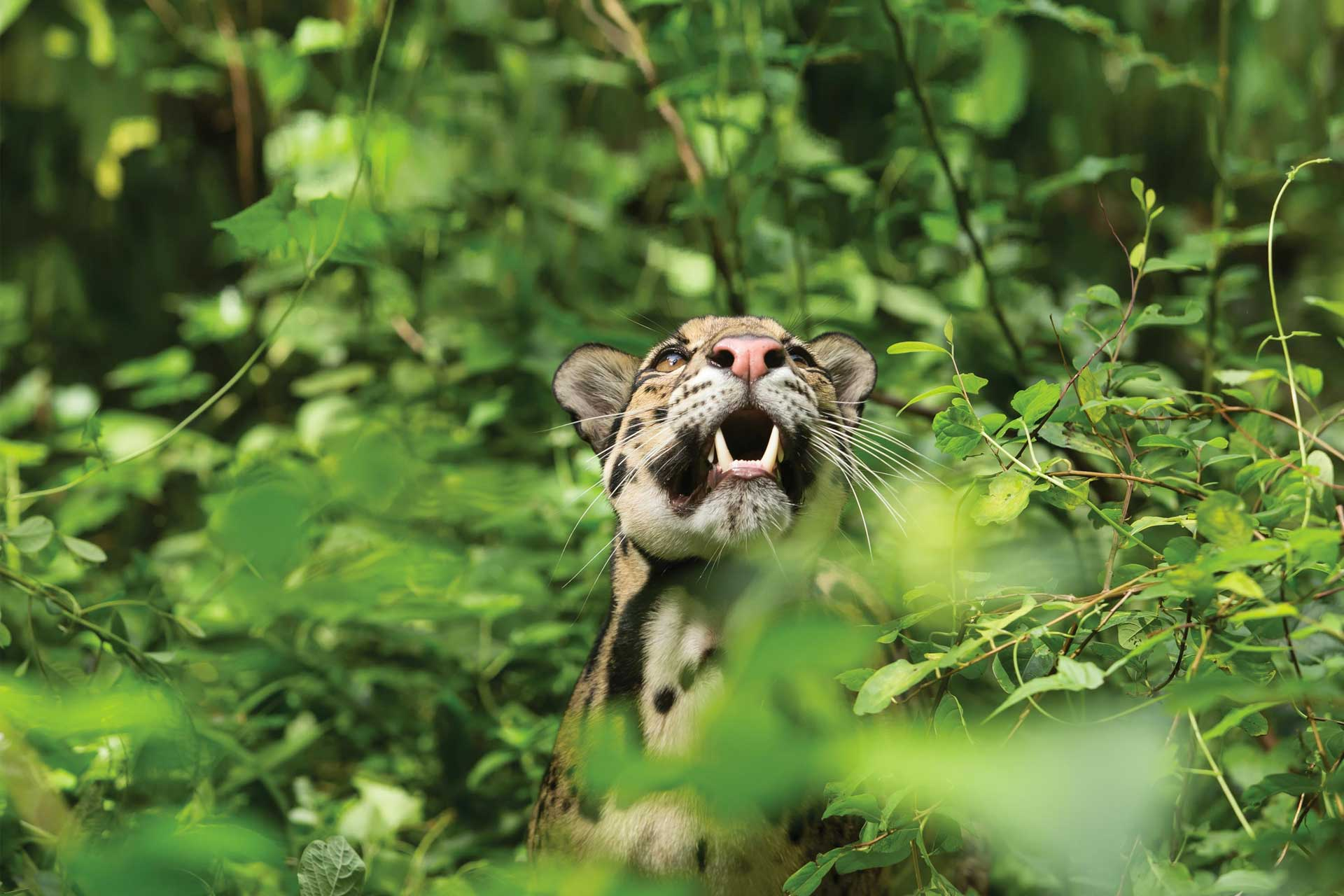 Clouded leopard in forest