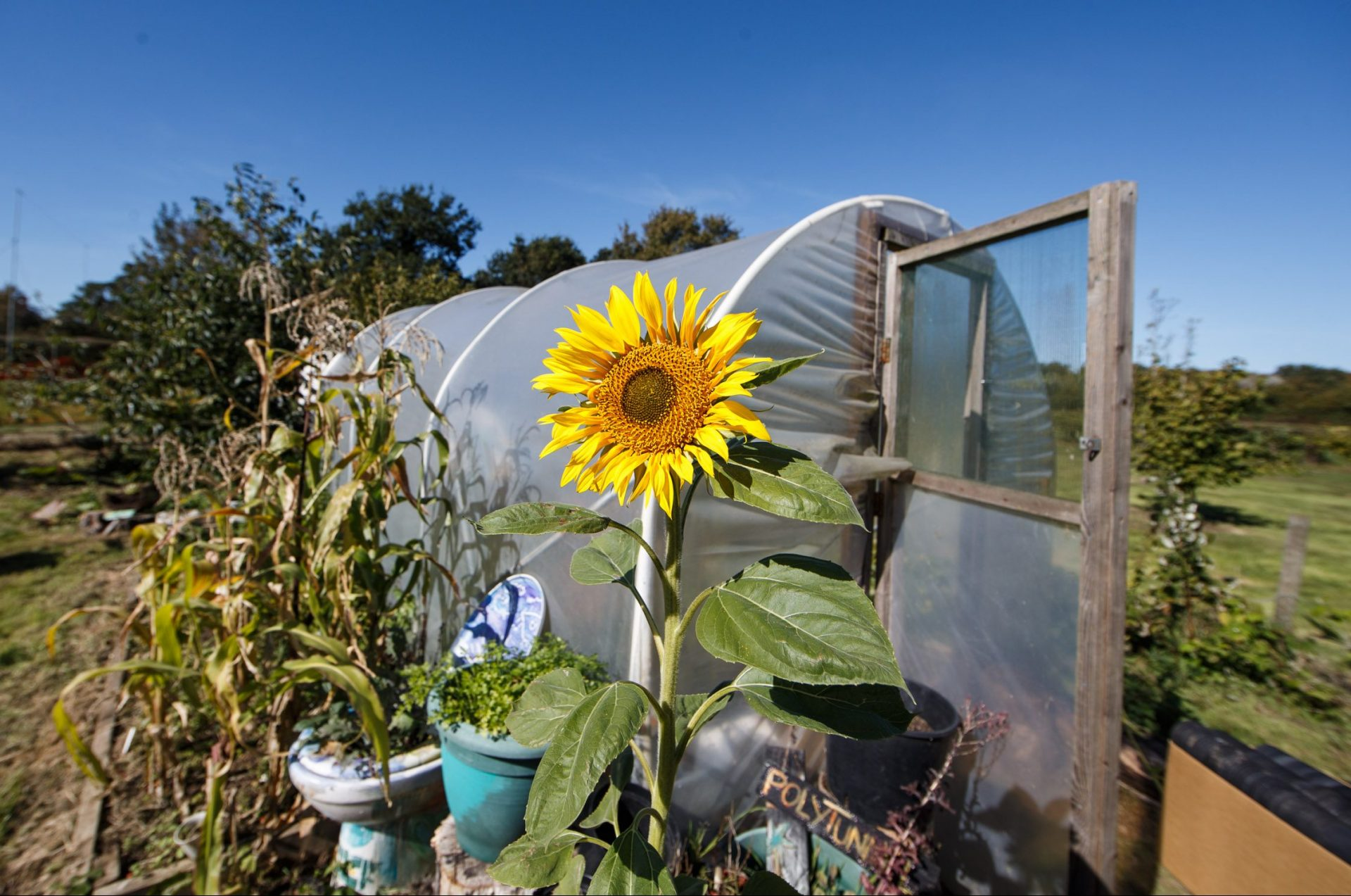 Picture of field with sunflower