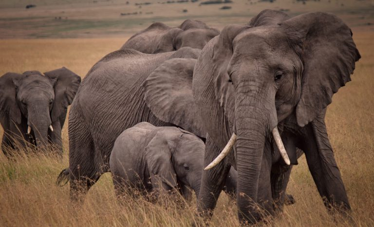 Expert comment: Botswana allowing safari hunting of elephants could help stamp out poaching