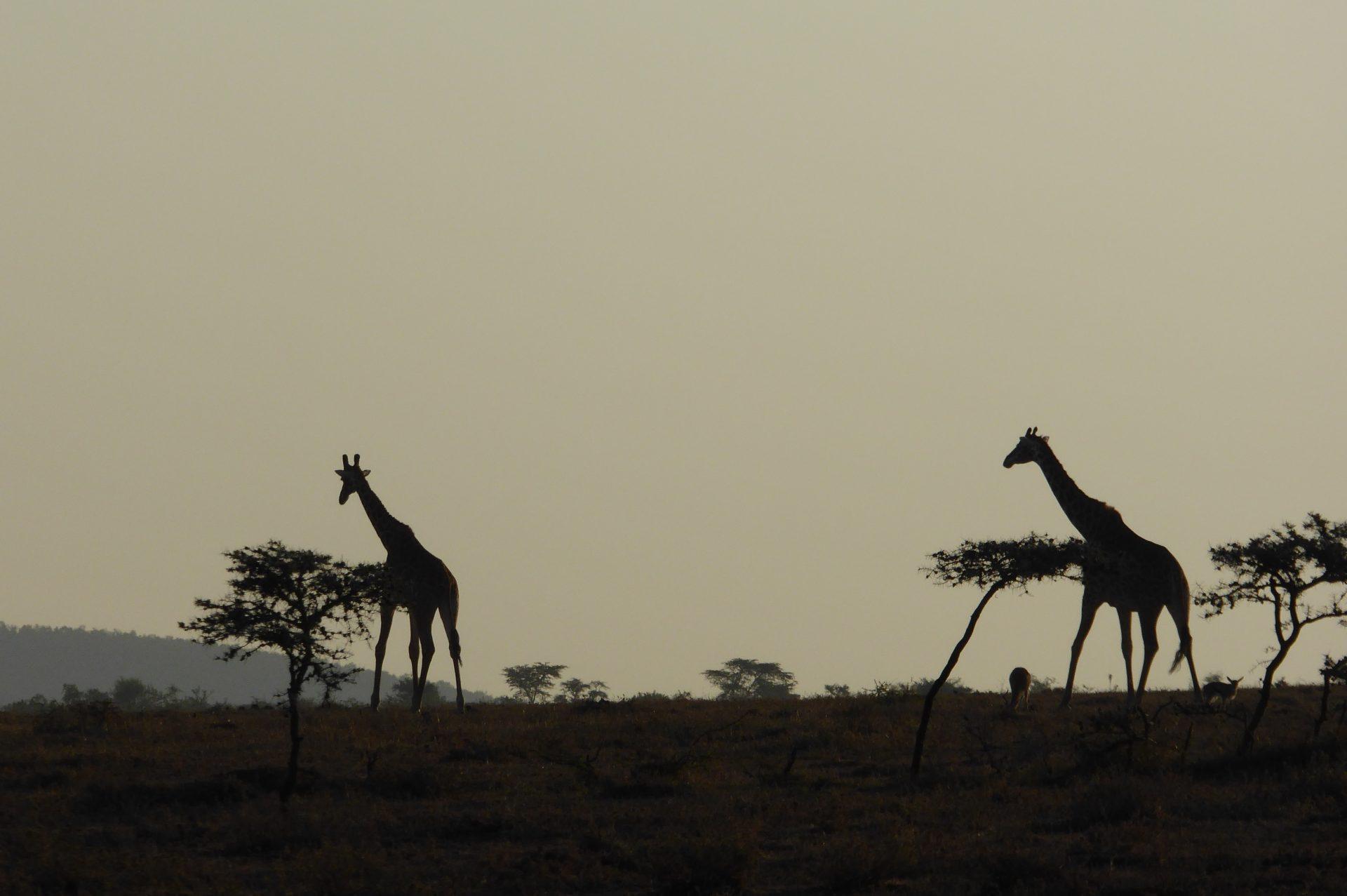Giraffes against skyline