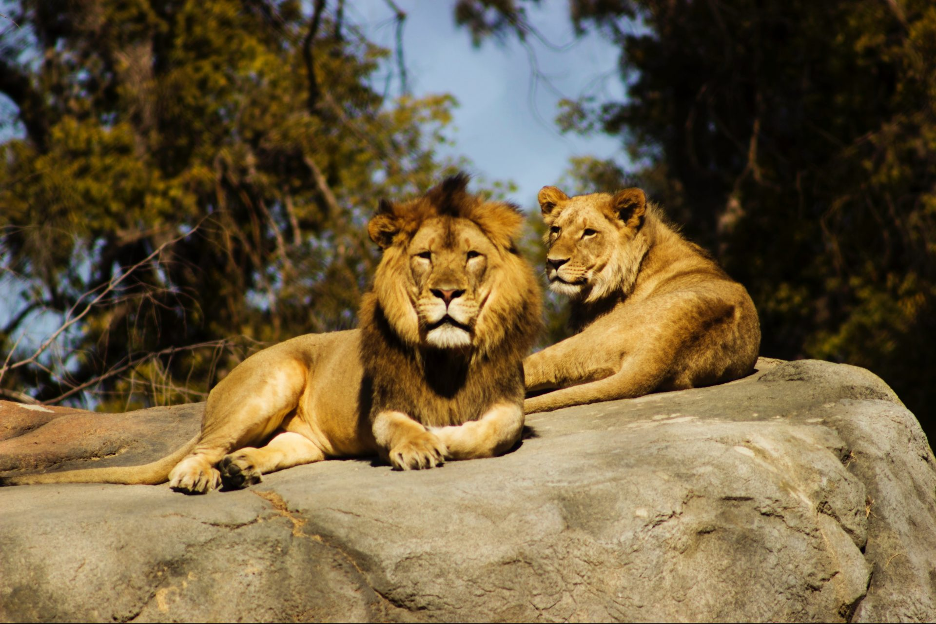 A lion and a lioness laid across a rock
