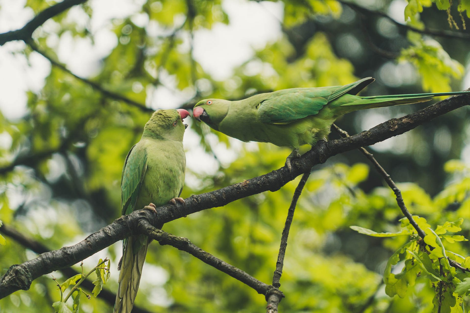 Two parrots in the trees