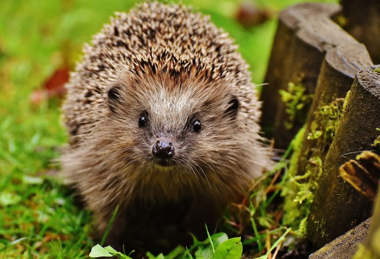 University calls on local support for hedgehogs