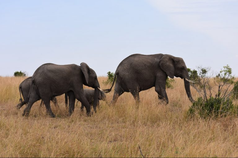 Human-elephant conflict in Kenya heightens with increase in crop-raiding