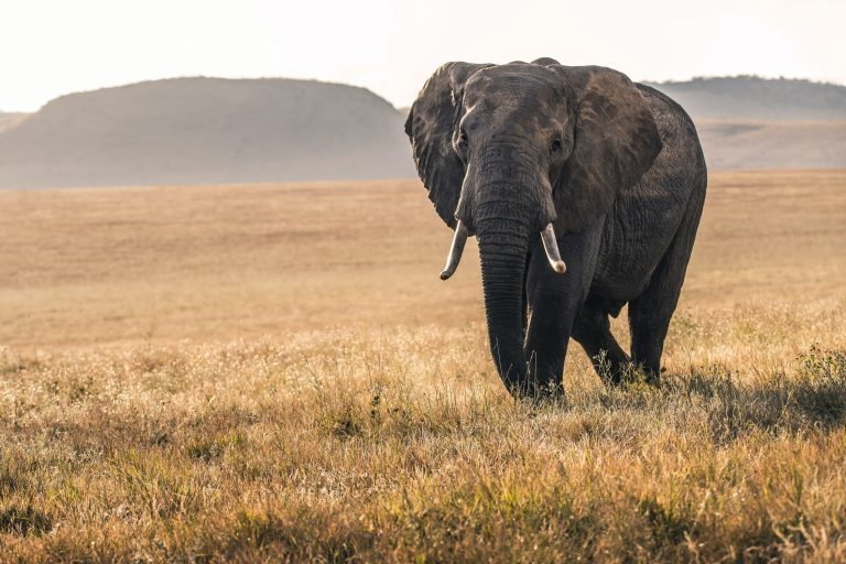 Rewilding African elephants from Howlett's to Southern Kenya