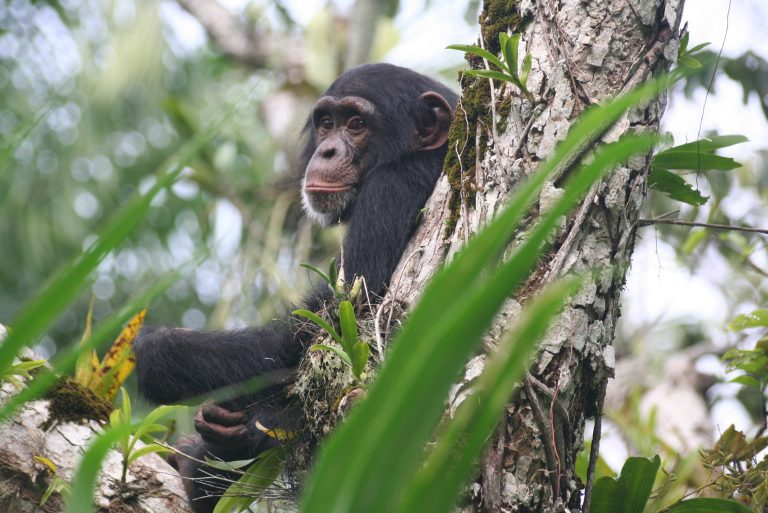 Western chimpanzees threatened by lack of regulated human development