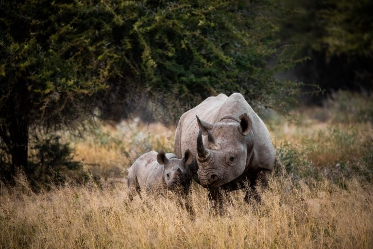 Rhino poaching in South Africa rises as travel restrictions ease